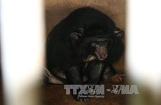 Six Tibetan bears in Binh Duong rescued