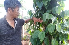 Gia Lai pepper farmers developing Sri Lanka plant