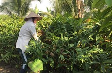 HCM City households up income with wild veg