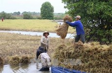 Farmers earn high profits from clean shrimp-rice cultivation