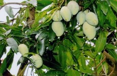 Dong Thap develops mango value chain