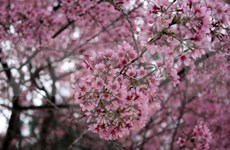 Da Lat's cherry blossom festival kicked off