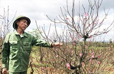 West Lake's famed peach blossoms on the move