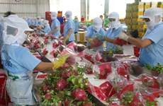Over 1,500 tonnes of dragon fruits shipped to China via Lao Cai border gate