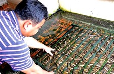 Mud-free eel breeding becoming commercial success