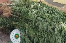 Nearly 7,300 marijuana plants uprooted in Dak Nong