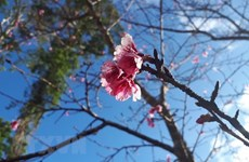 Japanese cherry trees presented to Bac Ninh province