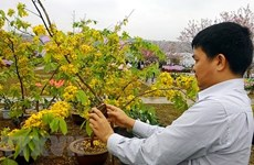 Cherry blossom - yellow ochna flower festival to open in Quang Ninh