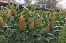 Lao Cai to develop 3.5ha hi-tech farms of lilies, roses