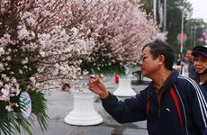 Japanese cherry blossom exhibition to be held in Hai Phong