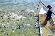 Farmers in Dong Thap province bet on tra fish