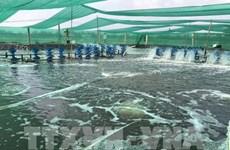 High-tech shrimp breeding brings higher profits to farmers