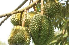 Central Highlands localities earn higher income from fruits