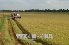 Tra Vinh farmers supported in joining large-scale field model