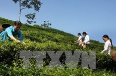 Ha Giang inaugurates organic tea plant using Japanese high-tech
