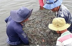 Kien Giang expands shrimp-rice farming area