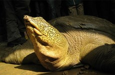 Species of newfound turtle yet to be confirmed