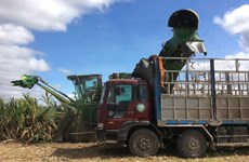 Vietnam to keep sugarcane area at 300,000ha by 2030