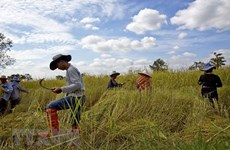 Thai Government works to stabilise rice price