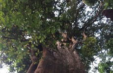 Century-old tree preserved in Ha Tinh national park