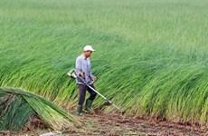 Mekong Delta farmers profit from sedge boom