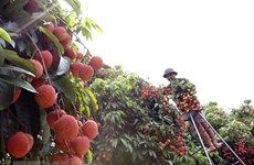 Festival promotes consumption of Thanh Ha litchi