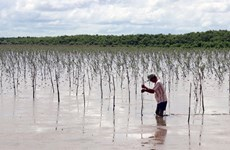 Farmers earn higher incomes from protecting mangrove forests