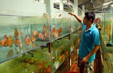 HCM City: Ornamental fish production reaches higher standards