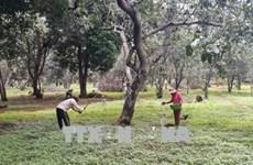 Binh Phuoc warns farmers over uncertified cashew