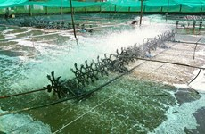 Israeli city seeks partnership importing Bac Lieu's shrimps