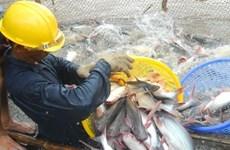 Shark catfish farming catching on