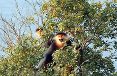 Thua Thien-Hue issues emergency action plan to protect primates