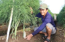 Green asparagus offers high profits for Ninh Thuan farmers