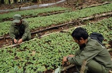 Ngoc Linh ginseng to be planted in Khanh Hoa