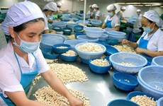 Vietnam to import 300,000 tonnes of raw cashew