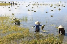 Mekong Delta floods inundate over 2,000ha of rice