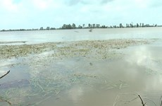 Floods damage 2,000ha of rice in Mekong Delta