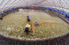First breeding shrimp farm in Vietnam meets OIE standards