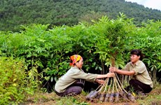 Quang Tri plants over 7,200 ha of concentrated forest