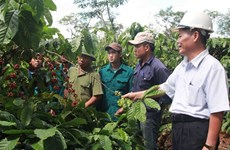Dak Lak to reduce coffee-growing area