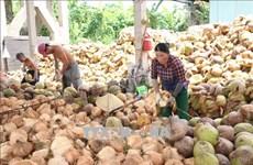 Delta provinces help farmers improve coconut value