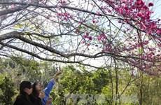 Cherry blossom festival to return to Pa Khoang, Dien Bien