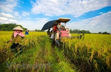 Soc Trang: Organic rice cultivation yields good results