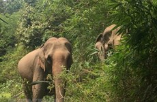 Animals Asia funds elephant conservation project in Dak Lak