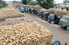 Domestic cassava industry faces big hurdles