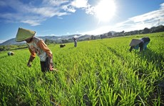 Indonesia works to improve rice irrigation