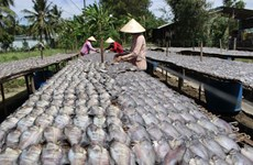 Mekong Delta dried fish making villages busy with production