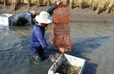 Mekong Delta farmers reap high profits from breeding giant river prawn