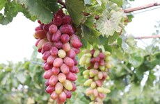 Ninh Thuan's new grape variety approved for cultivation