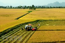 Bac Lieu to continue expanding large-scale rice fields
